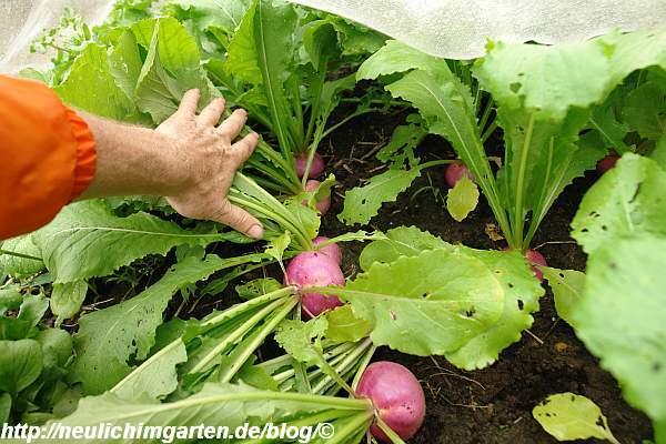 mairueben-gepflanzt-ergebnis