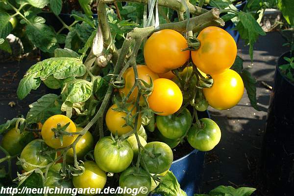 tomate-mit-tomatenbehang-2