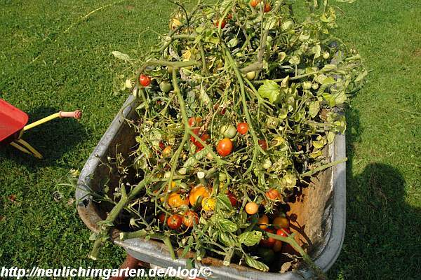 ganze-schubkarre-voll-kranker-tomaten