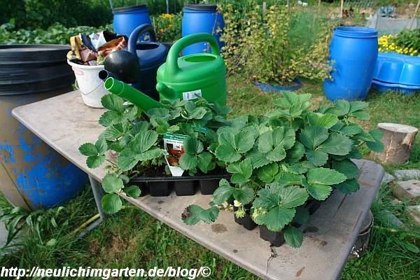 junge-erdbeerpflanzen