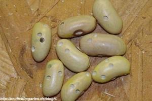 bohrloecher-bohnenkaefer