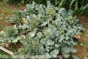 brokkoli-im-garten