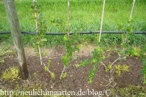 johannisbeeren-richtig-pflanzen