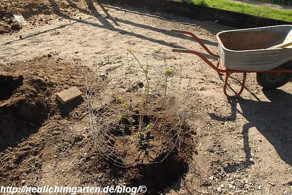 holunder-haschberg-pflanzen