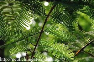 mammutbaumblatt