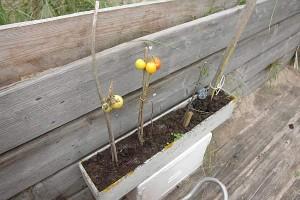 tomatenanbau-auf-helgoland