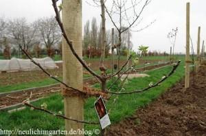 apfelbaum-frisch-gepflanzt