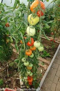 tomate-native-sun
