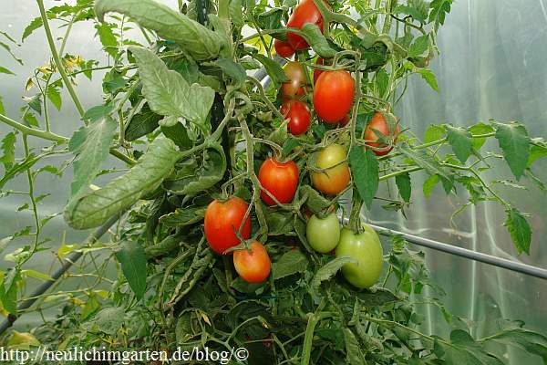 resistente tomatensorten 2014