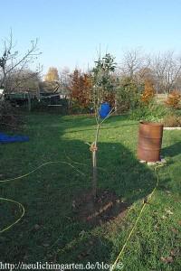 apfelbaum-verpflanzen