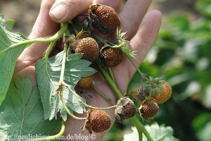 diese-erdbeeren-sind-nicht-mehr-geniessbar