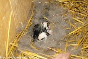 junge-kaninchen-im-nest