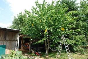 kirschbaum-mit-kirschmadenfallen