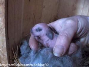 neugeborenes-kaninchen