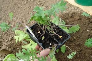 sibirischer-kohl-pflanzen