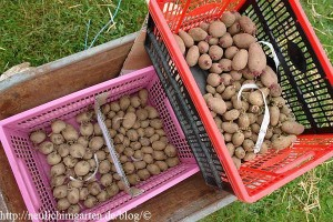 vorgekeimte-kartoffeln
