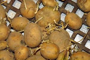 kartoffeln-keimen-vorzeitig