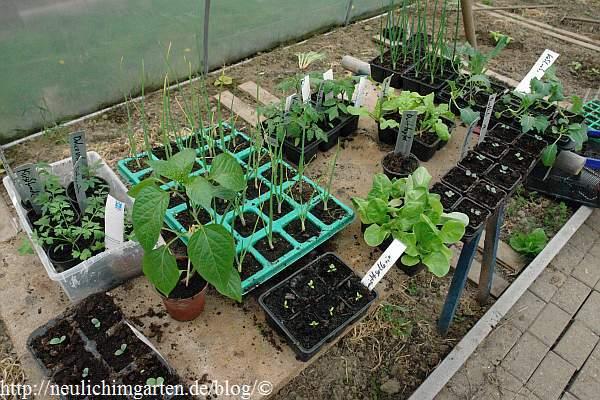 wann tagetes pflanzen
