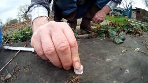 Knoblauch gegen Schimmel an Erdbeeren