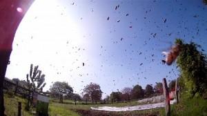 Abgehender Bienenschwarm