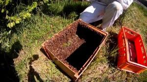 Bienen in der Schwarmkiste