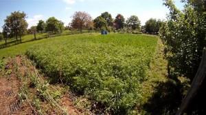 Phacelia im Weizen