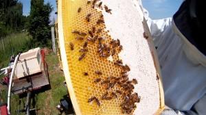 Honigernte ohne Bienenflucht