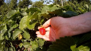 Mehr Erdbeeren als wir essen koennen