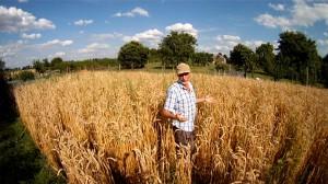 Bioweizen anbauen