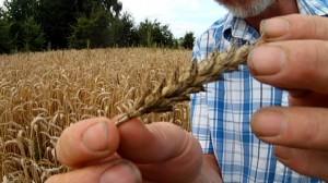 Fusarien an Weizen