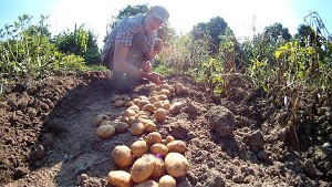 Kartoffeln im Garten ernten