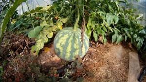 Wassermelonen im Gewaechshaus