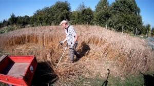 Weizen mit der Motorsense ernten