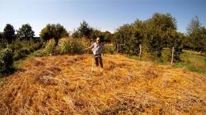 Weizenfeld ernten