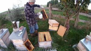 Milchsaeurebehandlung bei Bienen