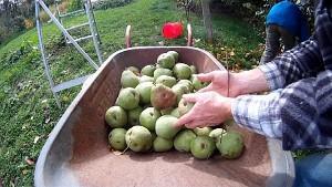 Schubkarre voller Birnen