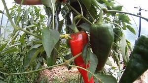 Paprika nachreifen