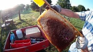 Brutnest im Honigraum der Bienenkiste
