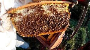 Wabenbau in der Bienenkiste