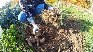 Yacon im Garten anbauen
