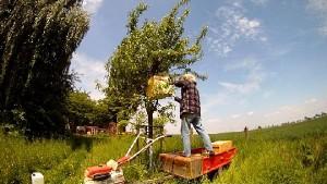 Bienen aus dem Baum schuetteln