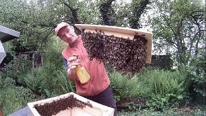 Bienen in die Bienenkiste einlogieren