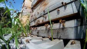 Bienen kurz vor dem Schwaermen