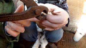 Kaninchen Naegel beschneiden