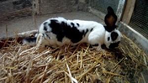 Kaninchen mit EC
