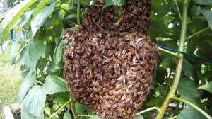 Bienenschwarm in den Himbeeren