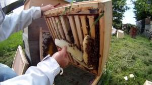 Wildbau im Bienenvolk