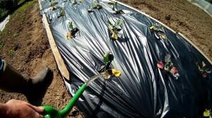 kompostierbare Mulchfolie testen