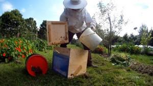 Imker faengt Bienenschwarm