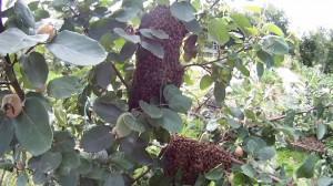 Was tun bei einem Bienenschwarm